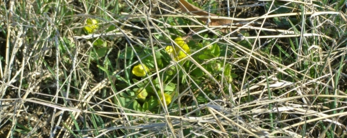 Sagebrush buttercups, Macalister, March 30, 2013