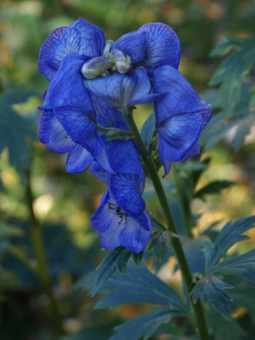 Aconitum carmichaellii - Monkshood - Hill Farm - November 1, 2014
