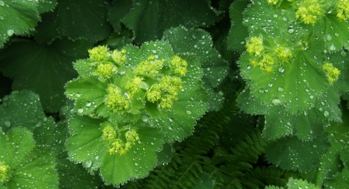 Alchemilla mollis - Lady's Mantle May 2013 - In the rain.