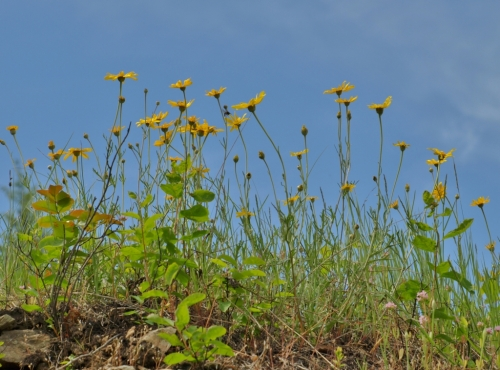 Arnica sp. against a blue, blue sky. Fraser Canyon, near Boston Bar. May 30, 2014.