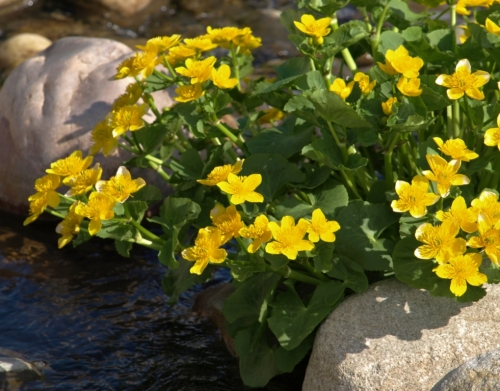 Marsh Marigold - Caltha palustris - David Douglas Botanical Garden - UNBC, Prince George - May 18, 2014