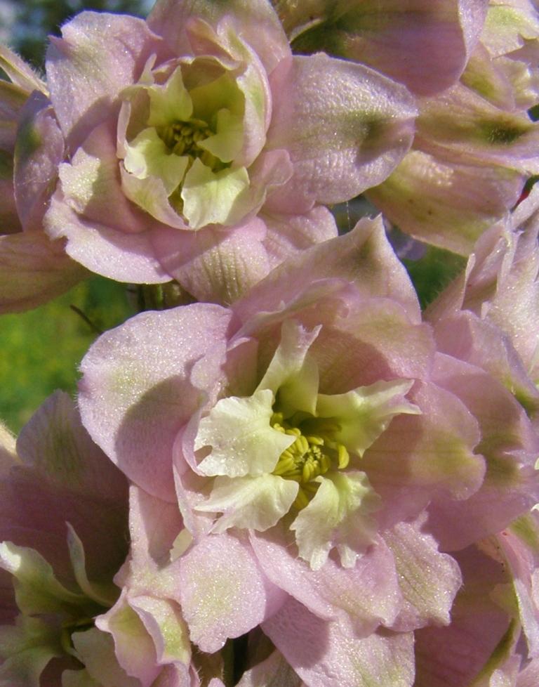 'Cherry Blossom' delphinium, Hill Farm, July 7, 2013