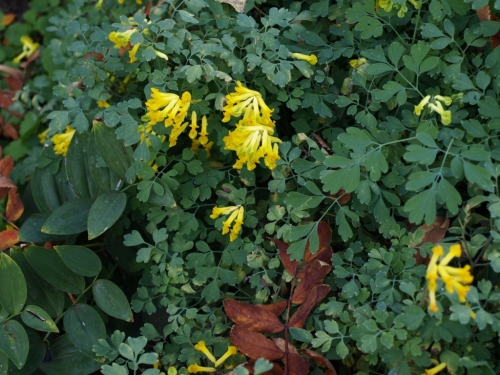 Corydalis lutea oct