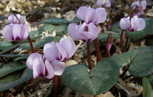 And of course we must include our treasured Cyclamen coum, which made it through another winter in fine form. Image: HFN