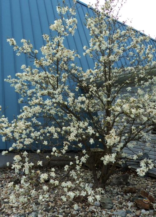 Not in the Hill Farm garden, but in West Quesnel at the little A-frame Lutheran Church is this zone-pushing Star Magnolia tree. The winter of 2014-15 was obviously mild enough for this stellar show.