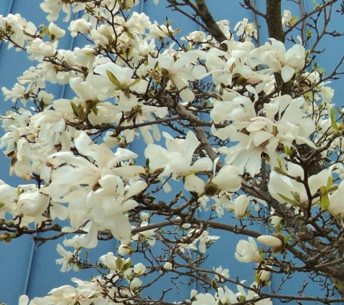 And a closer look at the Magnolia's exotic flowers.