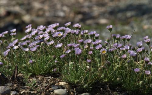 Cutleaf Daisy, aka Alpine Fleabane - Erigeron compositus - David Douglas Botanical Garden - UNBC, Prince George - May 18, 2014
