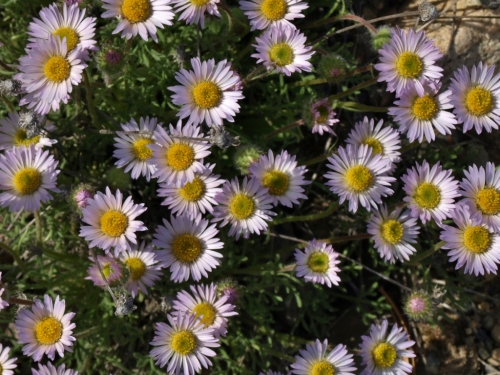 Erigeron compositus. April 20, 2016. Image: HFN