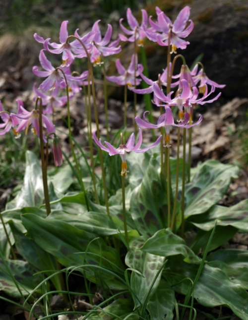 Erythronium revolutum - Pink Fawn Lily. This is a lovely native wildflower which blooms in its natural habitat along the southern BC coast in April and May. Image: HFN