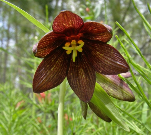 The reason for our visit to Goodsir - we were on a quest to find the rather rare Northern Rice-root, Fritillaria camschatcensis. We found 5 plants, with only one yielding bloom. Definitely a start, as we still hope to see these blooming in profusion. The quest, though technically successful, continues...