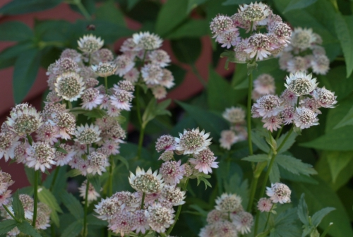 Astrantia in the shade: Kim Herdman and Michael Rawluk's garden.