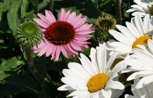 A couple of bright-eyed composites: Echinacea and Shasta Daisy in Kim & Michael's garden.