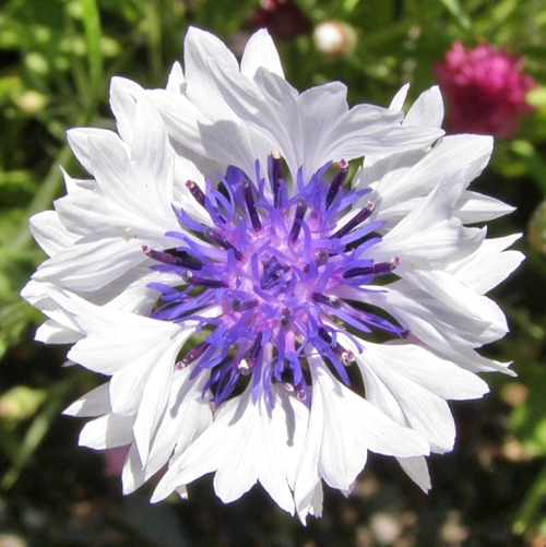 Just one of many lovely annual cornflowers making themselves at home in Leah and Michael's garden.