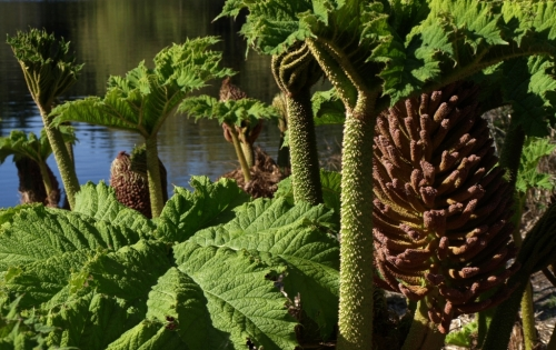 No visit to Vancouver would be complete without a few minutes spent in admiration of one of the local exotics - the other-worldly Gunnera manicata, hailing from South America and a great favourite for coastal gardeners with a wet, warm microclimate. These things get huge - leaves to 4 feet across, mature height easily topping 10 feet. Not for us Interior gardeners to grow in our less-than-South-American climate, but fun to look at nontheless. Image: HFN