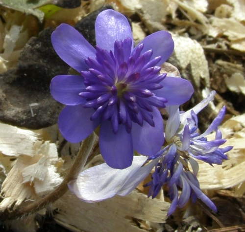 Hepatica transsilvanica 'Elison Spence' - a charming double cultivar which is slowly but surely settling in to our shady bit of woodland border. Image: HFN