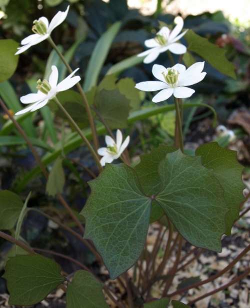 Jeffersonia diphylla - Twinleaf. Image: HFN