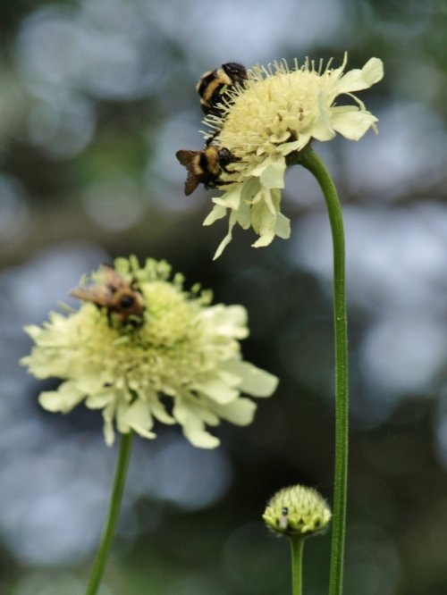 More bees on Scabiosa cousin Cephalaria tchihatchewii - 10 feet tall and alive with humming visitors. Hill Farm, July 21, 2014