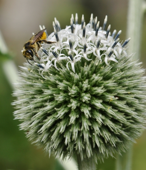 Honey bee on Giant Globe Thistle - Echinops sphaerocephalus. Hill Farm, July 21, 2014