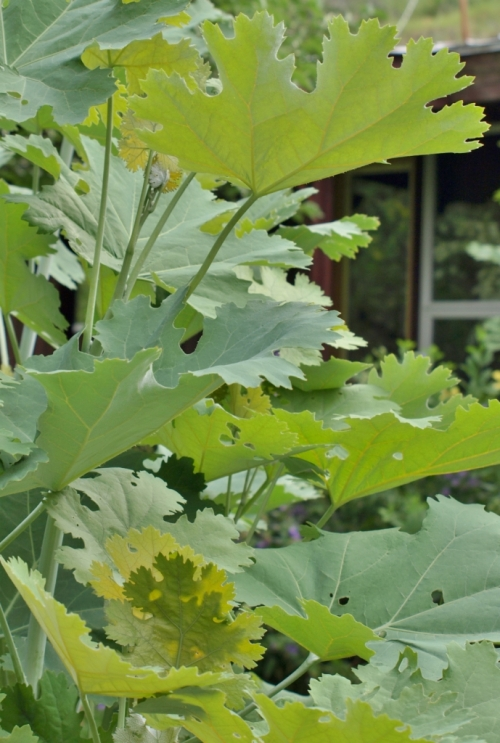 One of the foliage stars of the garden, and another giant plant. Plume Poppy, Macleaya cordata, routinely tops 10 feet. It blooms with sprays of tiny, coral and sulphur flowers, but the foliage is even more superb. Hill Farm, July 21, 2014