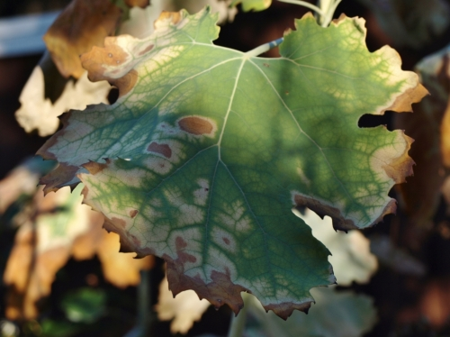 Macleaya cordata - Plume Poppy leaf - Hill Farm - November 1, 2014