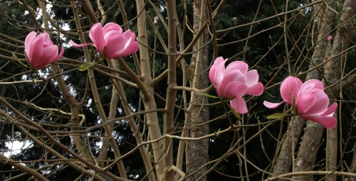 The same was true of many of the magnolias in both gardens - dropping blossoms fast. But there were still many to be enjoyed in their wonderfully exotic glory. Image: HFN