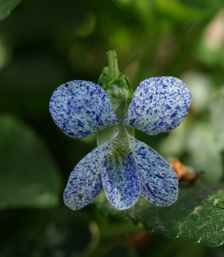 And themn of course there are the many lovely wooly violets, Viola sororia. Extra charming is the cultivar 'Freckles'.