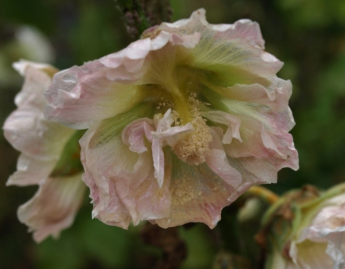 Russian Yellow Hollyhocks, Alcea rugosa, have naturally hybdridized with double A. rosea and figleafed single A. ficifolia to produce some interesting offspring, like this semi-double peachy thing. Another long-bloomer, starting in late June and going until the snow on ever-lengthening bloom stalks.