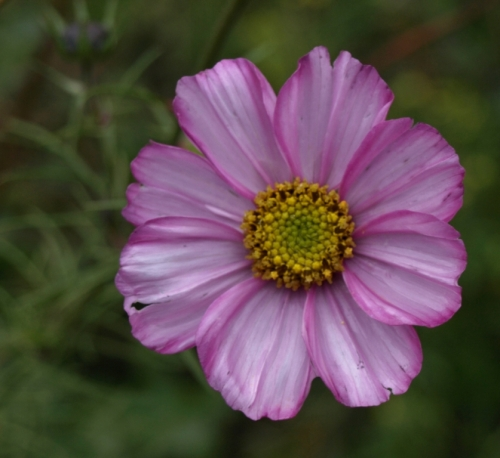 Annual Cosmos - Cosmos bipinnatus - still doing its best through cold and wind and storm.