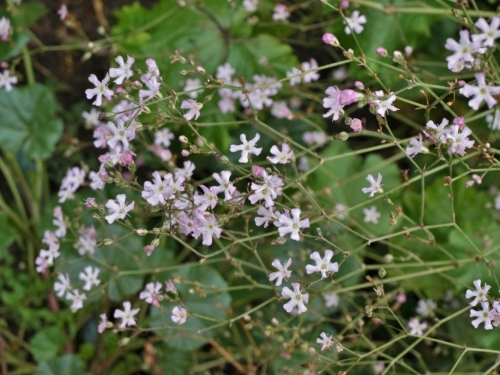 Gypsophila pacifica, take two.