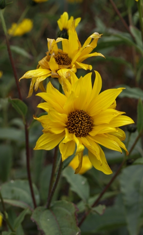 And another look at the flowers of Helianthus atrorubens 'Gullick's Variety' - a perennial sunflower.