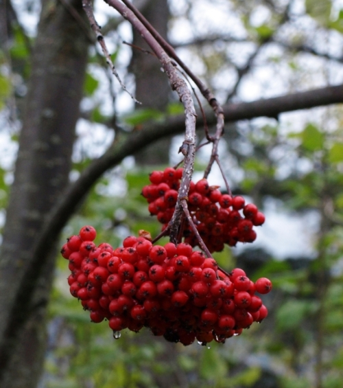 And here is a final image of autumn colour. The berries of American Mountain Ash, Sorbus americana, persist after the brightly coloured leaves have fallen. One day soon our resident flock of waxwings will descend and strip the tree bare, but today the clusters still hang in scarlet perfection.