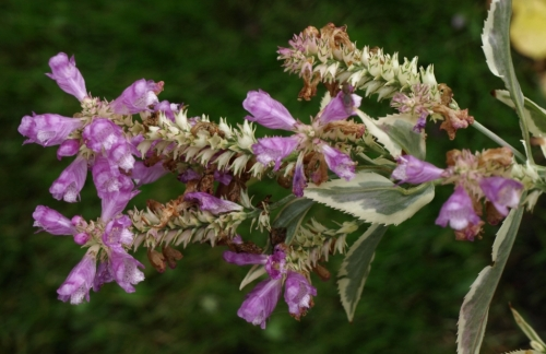 And another view of the Physostegia virginiana 'variegata'.