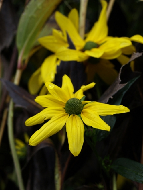 Rudbeckia nitida 'Herbstsonne'. This stately flower has gone to seed, but lo and behold, a few fresh flowers have opened in this year's extended autumn.