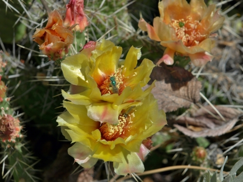 Opuntia fragilis, Prickly Pear Cactus. In full bloom on the hills around Penticton.