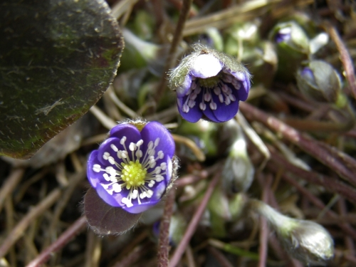 Hepatica nobilis - Our treasured clump of this earliest-blooming eastern North American wildflower is loaded with buds - a month of pure pleasure is at hand - the daily check-in to see the progress of the delicate blooms has started. Image: HFN