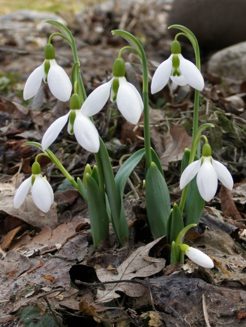 Galanthus sp. - Snowdrops - Jane has persisted in trying to estblish these borderline-hardy bulbs in our garden, and hyer optimism appears to be rewarded with the little colonies under the ancient apple tree increasing every year. Image: HFN