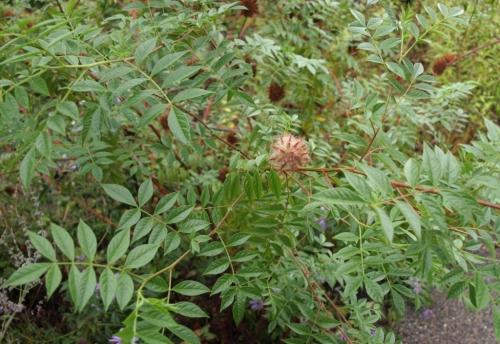 Attractive foliage of Glycyrrhiza yunnanensis. Image: HFN
