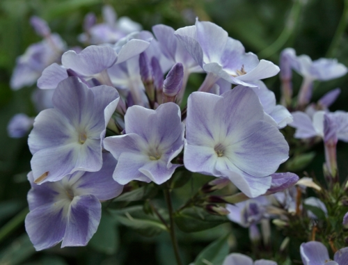 The tall summer phlox are old fashioned flowers which are perhaps not used as often as they could be for mid to late summer coloyur. Here is 'Franz Schubert', 4 feet tall and loaded with heads of fragrant, soft lilac blooms in August.