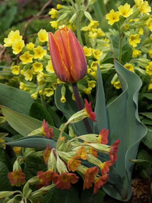 Primula elatior Tulip 'Princess Irene' April 17 2016 Image: HFN