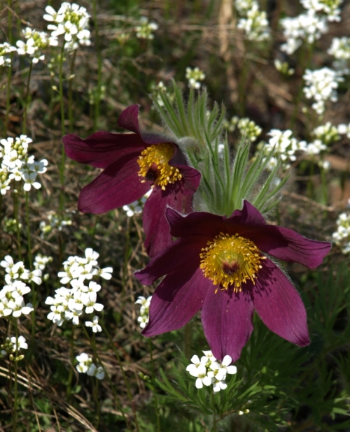 Pasque Flower - Pulsatilla vulgaris - David Douglas Botanical Garden - UNBC, Prince George - May 18, 2014