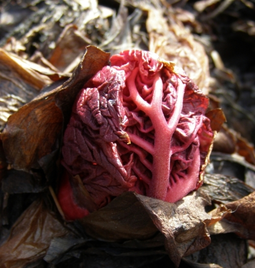 Bursting from its parent root, a leaf of ornamental rhubarb, Rheum palmatum var. tanguticum. Image: HFN