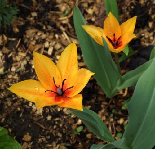 Tulipa praestans 'Shogun'