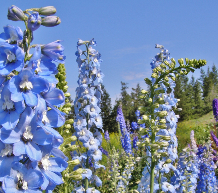 "'Summer Skies"" Pacific Giant delphinium blooming in the nursery beds, Hill Farm, July 7, 2013"