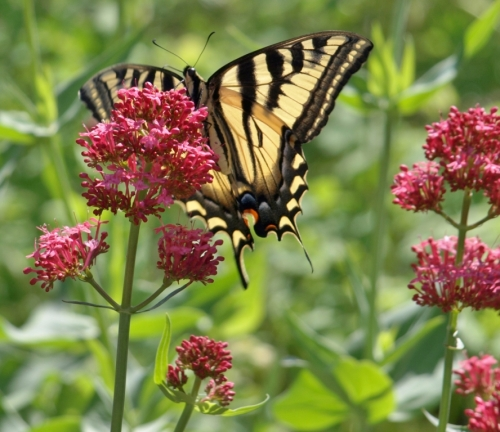 Swallowtail butterfly on Red Valerian, Centranthus ruber, Summerland Ornamental Gardens, June 7, 2014
