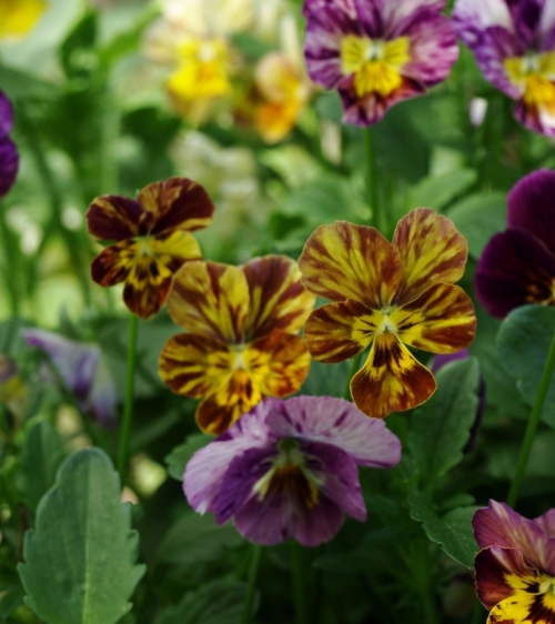 Heirloom pansy 'Watercolor' is splashed and streaked with contrasting tones. Image: HFN