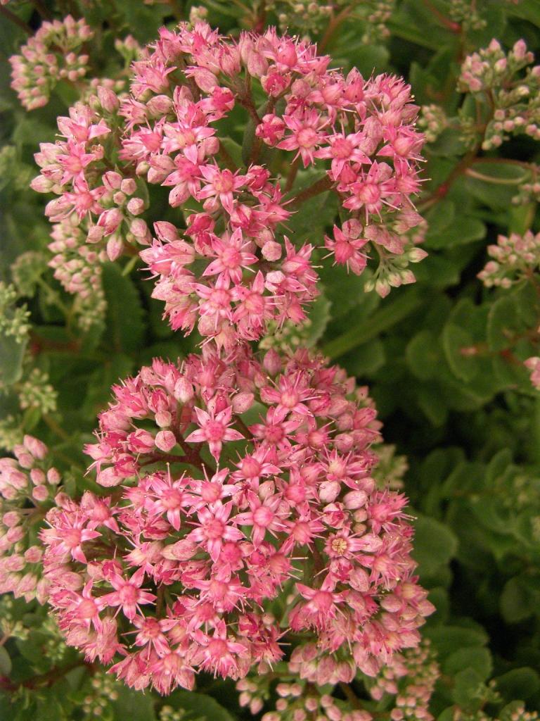 Hylotelephium 'Pink Jenny' Image: HFN