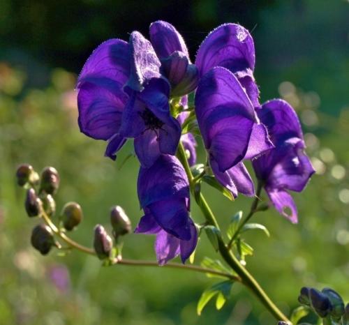 Aconitum 'Spark's Variety Image: HFN
