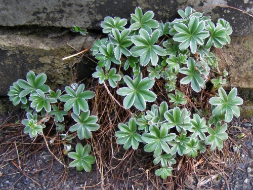 Alchemilla alpina - Alpine Lady's Mantle - Spring foliage in April. Image: HFN