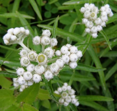 Anaphalis margaritacea - Pearly Everlasting. Image: HFN
