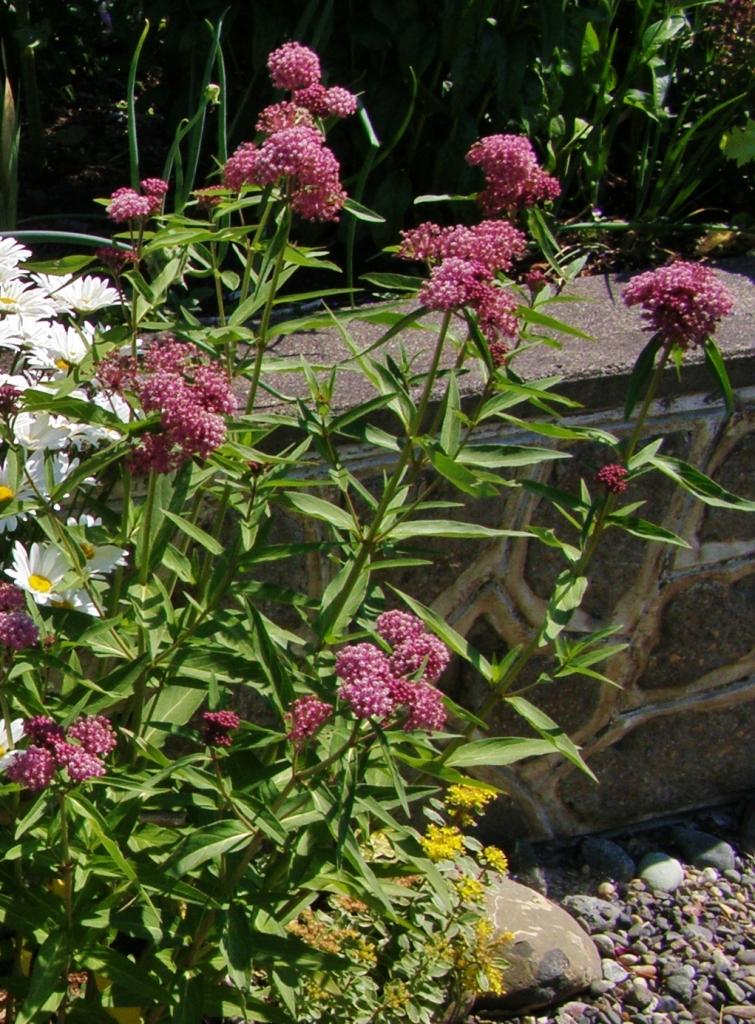 Asclepias incarnata - Rosy Swallowwort. Image: HFN